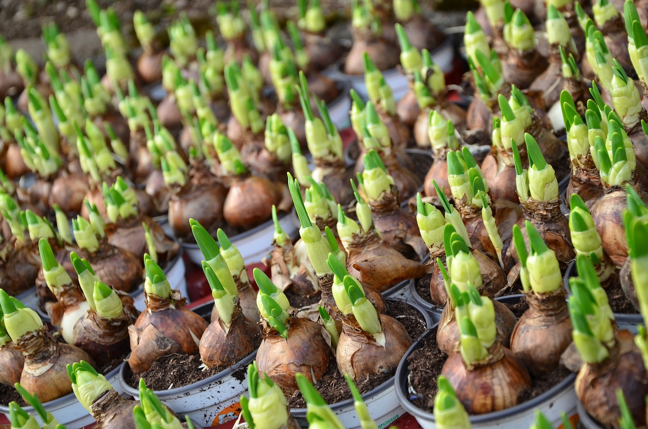 flower-bulbs-663229_1280